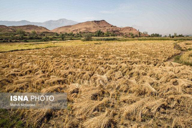 برنج مازندران چقدر کارآیی اقتصادی دارد؟