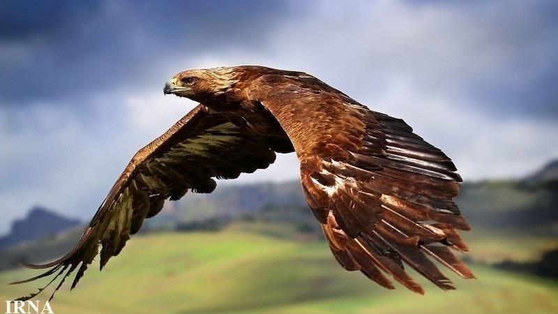 خبرنگاران تحویل عقاب طلایی به محیط زیست شیروان